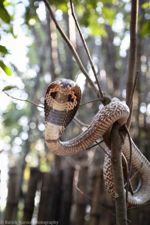 cobra-on-the-tree